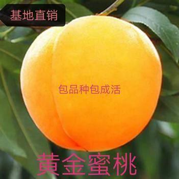黃金冠黃桃苗 嫁接桃苗 保質保量  包成活  山東種苗