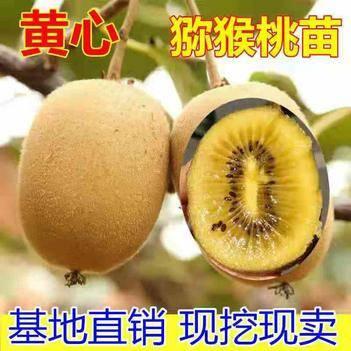 黃心獼猴桃苗,包成活,基地直銷三包發貨