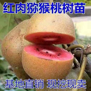 紅肉獼猴桃苗,包成活,基地直銷三包發貨