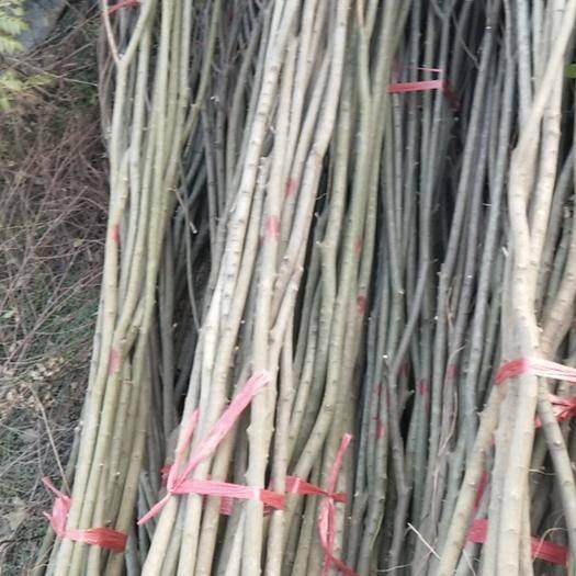 江西省九江市柴桑区 2公分朴树价格.3公分朴树价格