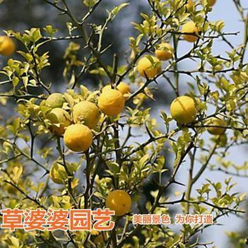 枸橘种子枳壳种子新种了包邮
