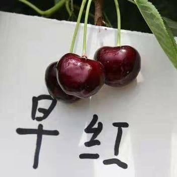 意大利早紅櫻桃苗,南北方適宜種植,包成活,基地直銷三包發貨