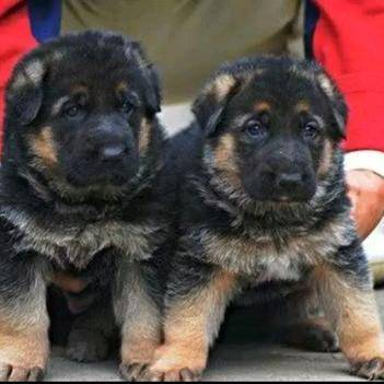 狗,改良狗可长60斤以上