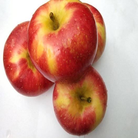 河北省石家莊市晉州市 河北紅星蘋果膜袋精品年貨大量上市先脆甜后粉面批發年后發貨