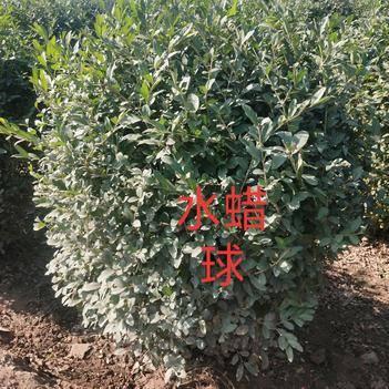 水蜡球:绿化工程苗木