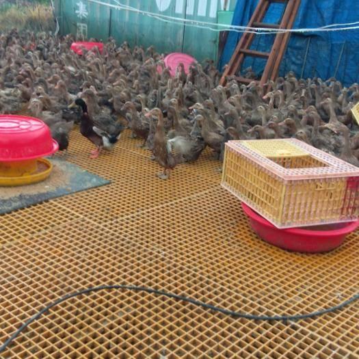 浙江省溫州市永嘉縣綠殼鴨蛋 自己鴨場幾萬只金定鴨,質量保證,以客戶要求為上