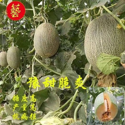 河南省商丘市夏邑縣 豫藝 豫甜脆爽哈密瓜種子(200)粒
