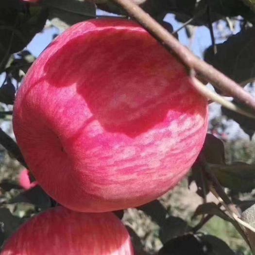 陜西省延安市富縣洛川蘋果 陜西洛川紅富士,口感一流,味道鮮美。
