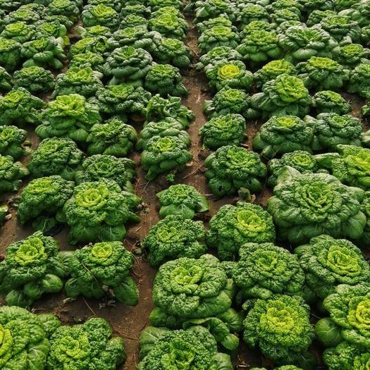安徽省亳州市蒙城县兴绿黄心菜 自己在家种植大朋绿色无污染就三朋
