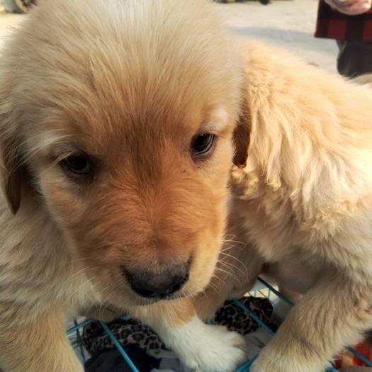安徽省宿州市埇桥区 纯种金毛犬