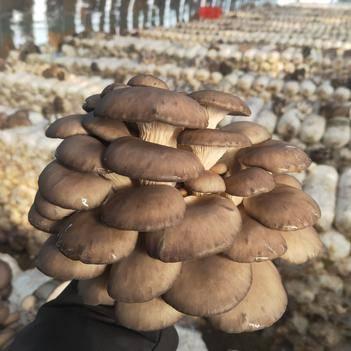 出售蘑菇,全国各地发货,批发价格,基地直供