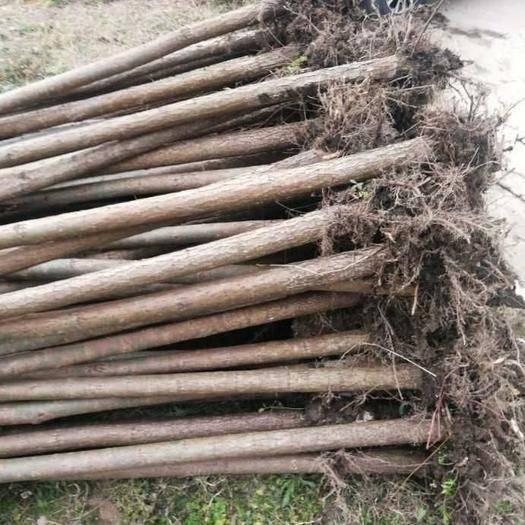 湖北省十堰市房县 大量柳树出售规格其全,量大起苗快