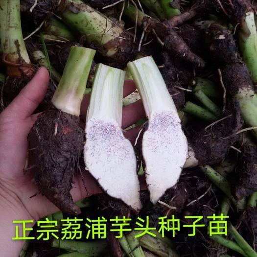 廣西壯族自治區桂林市荔浦市芋頭種子 荔浦芋種品種純正 免費提供種植資料 支持線上交易保障