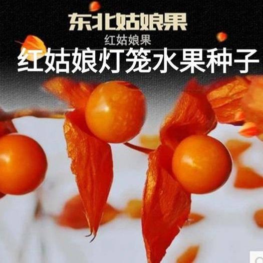 河北省唐山市遷安市姑娘果種子 紅姑娘燈籠水果種子易種易管理家庭盆栽燈籠水果種子原裝包郵