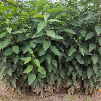 八棱海棠实生苗