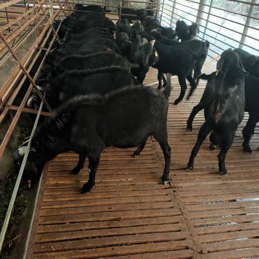 广东省清远市清城区 广东韶关,努比亚黑山羊  种羊供应