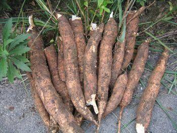 广西壮族自治区来宾市象州县 自家山上种的木薯,现在是采挖季节,喜欢的朋友欢迎订购哦!