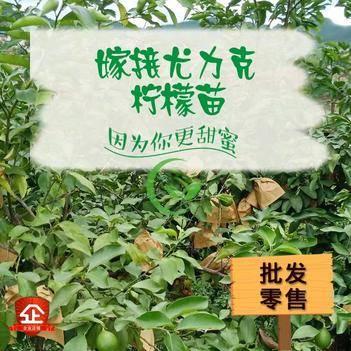 檸檬樹苗 清香檸檬嫁接苗尤力克檸檬苗 適合盆栽地栽檸檬樹