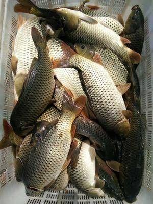 四川省綿陽市梓潼縣 鯉魚放釣 食用  放生 貨到付款