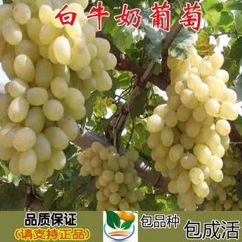 牛奶葡萄苗 白牛奶葡萄提子葡萄樹苗南北方種植果樹苗爬藤當年結果樹苗葡萄