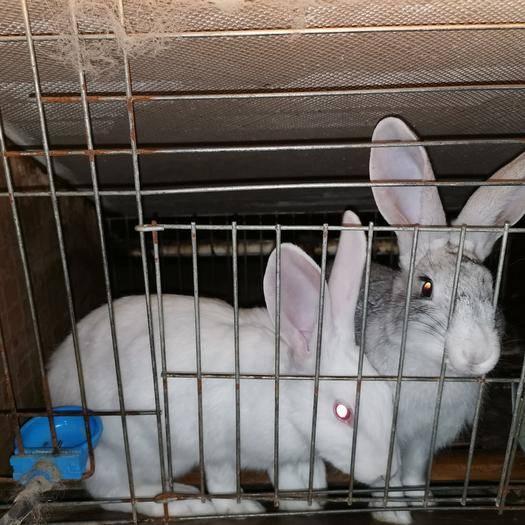 江蘇省徐州市邳州市 長期大量出售種兔,肉兔,寵物兔,兔苗