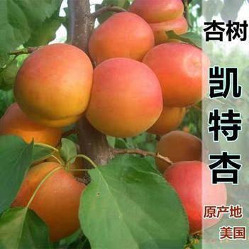 凱特杏樹苗 嫁接苗 凱特 十里香杏子樹苗南北方種植當年結果