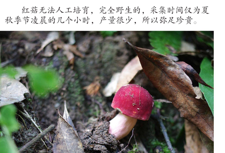 正宗福建野生紅菇 品質保證 250克/包 包郵24小時發貨