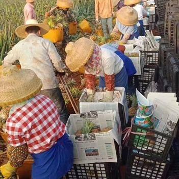 徐闻曲界菠萝供应商