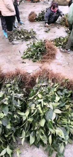 重庆市璧山区 草珊瑚种苗