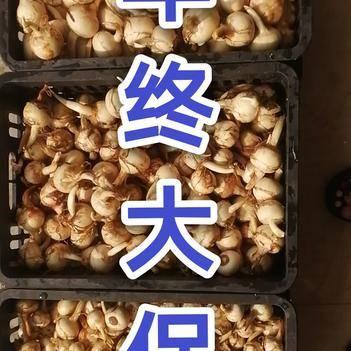 大号慈菇无瑕疵一级果产地直发桂林特产白肉茨菇满300斤起批
