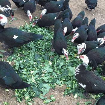 鴨蛋番鴨蛋可孵化自家半散養番鴨受精蛋 公十一左右,母七八斤