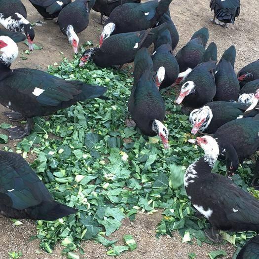 福建省漳州市漳浦縣 鴨蛋番鴨蛋可孵化自家半散養番鴨受精蛋 公十一左右,母七八斤