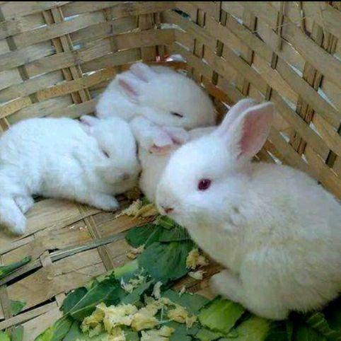 湖南省邵陽市洞口縣新西蘭兔 新西蘭白兔肉兔一斤左右,可長10來斤已打預苗包郵到家