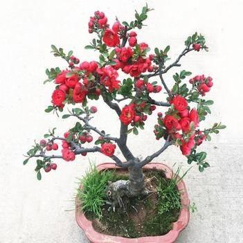 海棠花盆栽带花苞发货花卉盆景室内外庭院四季开花耐寒植物包对版