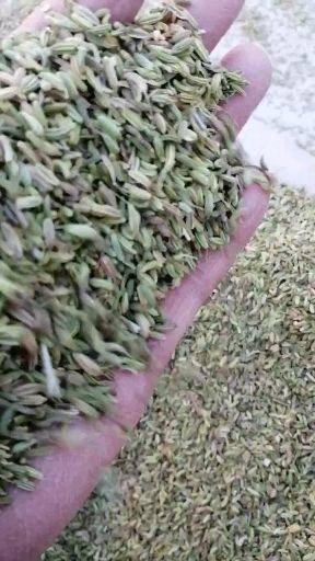 甘肃省武威市民勤县 小茴香,可看视频发货,产地一手货源,支持线上保障交易