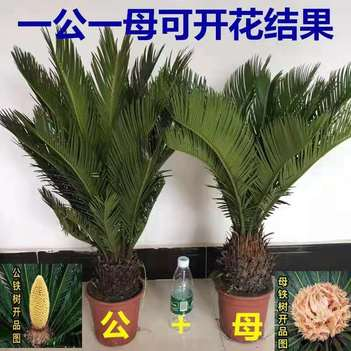 台湾苏铁 铁树盆景铁树小苗客厅盆栽四季常青绿植庭院办公室防辐射净化空气
