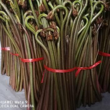 广西山区蕨菜