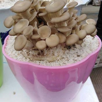 盆栽蘑菇,室内种植,喷水即长,三到五天就可采摘,全场包邮