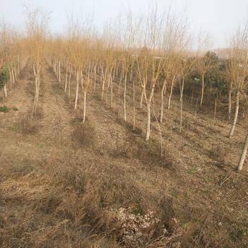 垂柳 绿化苗木:垂绿