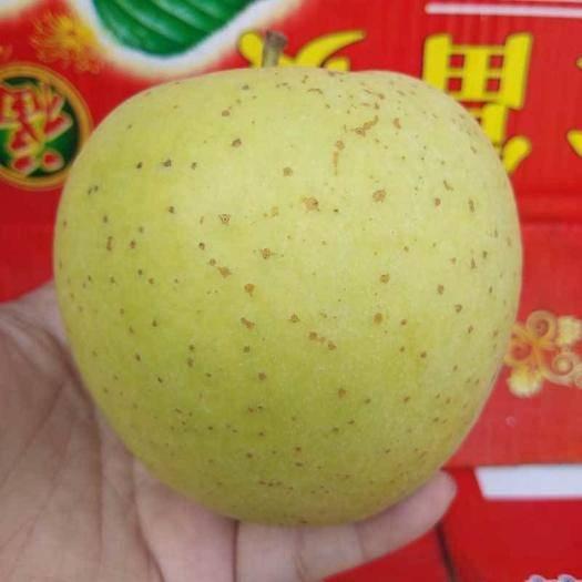 河北省石家莊市晉州市 金帥蘋果 黃元帥 黃香蕉蘋果大量上市75mm電商微商一件代發