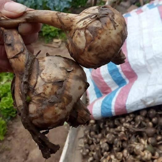 广西壮族自治区贺州市八步区白肉慈菇 自己这里种的刚挖出来今天