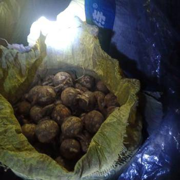 龙坪麻步鸦鹊塘 慈菇粉而不苦。10斤起批。