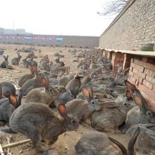江蘇省徐州市邳州市新西蘭兔 新西蘭大白兔活物可長10斤巨型食用肉兔活體繁殖種兔3到5斤成