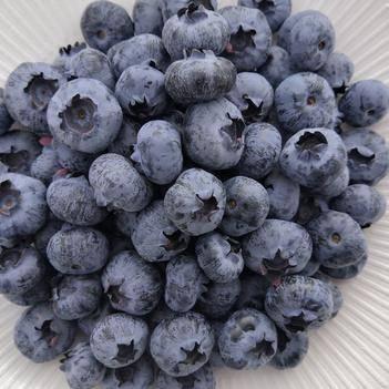 3000亩蓝莓基地