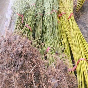 黄金柳、垂柳、金丝柳、柳竹柳树苗