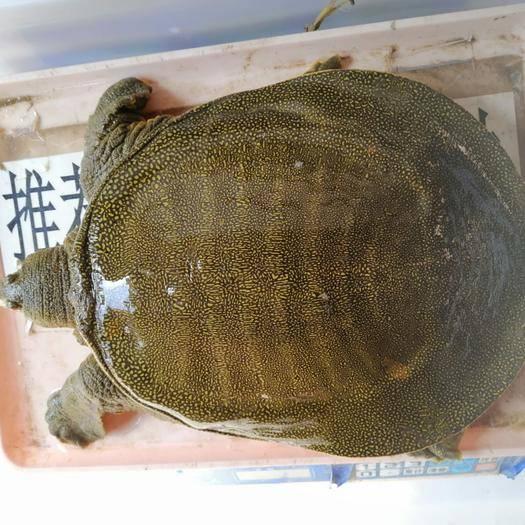 廣東省云浮市羅定市 外塘生態放生5年以上甲魚,吃魚蝦長大,肉質鮮美