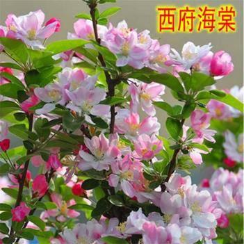 西府海棠   专业庭院绿化  保成活  当年开花