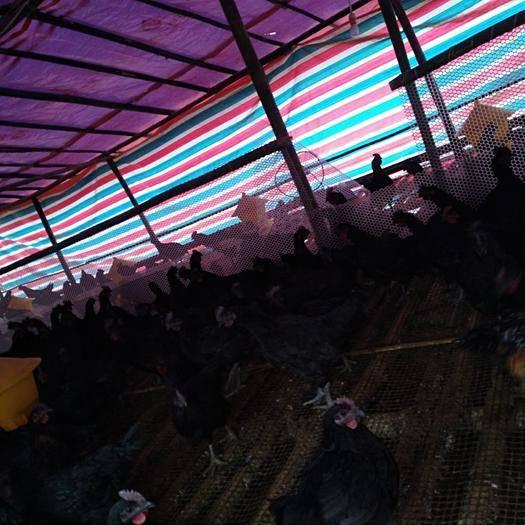 四川省宜宾市珙县 出售乌骨鸡苗~肉用乌骨鸡