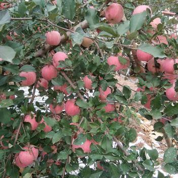 棲霞蘋果 80mm以上 條紅 光果