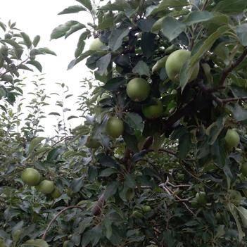 澳洲青蘋果